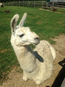 llama at Tendercrop Farms, where I buy our meat